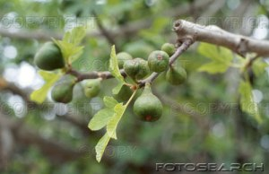 The Fig Tree Buds