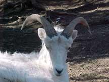 2 horned lamb