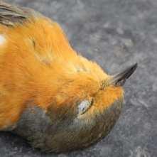 dead birds in Australia